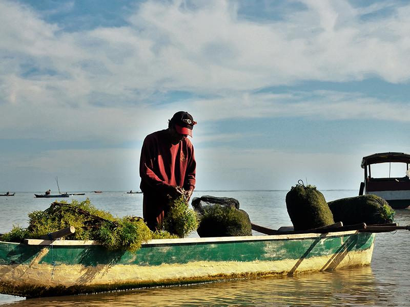 NUR AHYANI_Panen Rumput Laut oleh Pembudidaya Binaan FoRLa di Desa Bana – Alor